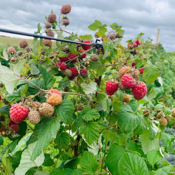 MySnack raspberries 600g frozen
